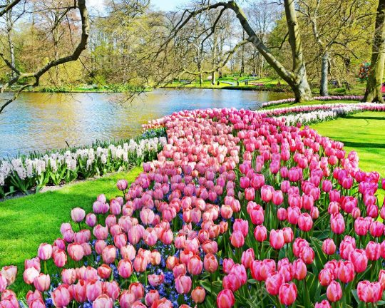 Keukenhof park of flowers and tulips in the netherlands beautif